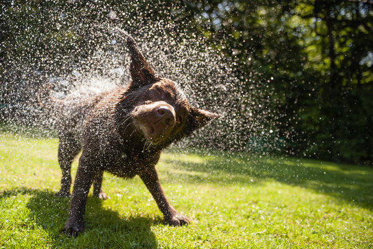Brown labrador shake off the water create a huge amount of small drops