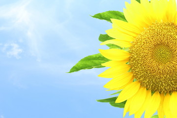 summer blossoming sunflower isolated on sky background