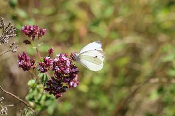 Kohlweißling, Schmetterling, Falter auf einer Pflanze
