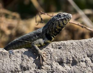 Lagartija - Lizard