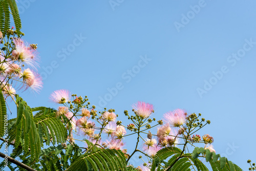 Close up of fluffy pink and white flowers on tree branches with tiny close up of fluffy pink and white flowers on tree branches with tiny leaves with mightylinksfo