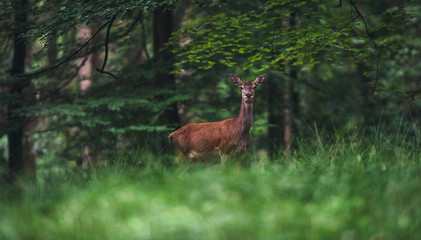 Female red deer (cervus elaphus) in summer forest.