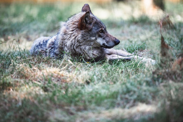 European wolf lying in grass.