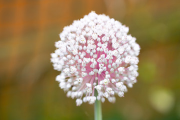 Blooming garlic flower with colorful blurred background