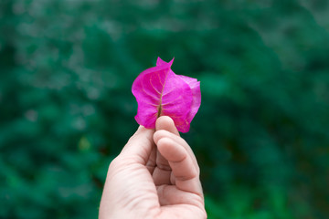 Hand holding a pink bougainvillea against a natural green background. Love concept and empty copy space for Editor's text.