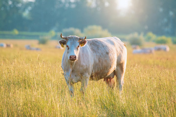Wall Mural - White cow on pasture