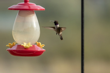 A black-chinned hummingbird hovers over a feeder