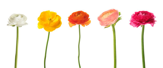Set of beautiful ranunculus flowers on white background Wall mural