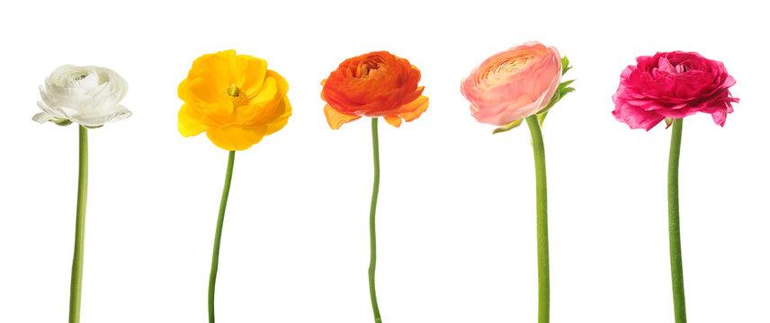 Set of beautiful ranunculus flowers on white background