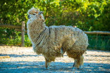 Photo of Alpaca