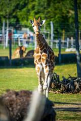 Young giraffe in the zoo