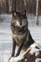 Black Phase Grey Wolf (Canis lupus) Poses