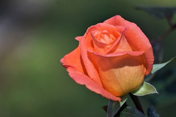 A singe orange rose on the background of soft focus garden, Spring in GA USA.