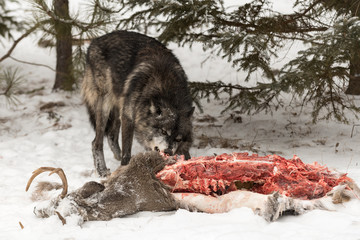 Wall Mural - Black Phase Grey Wolf (Canis lupus) Tears Into White-Tail Deer Carcass