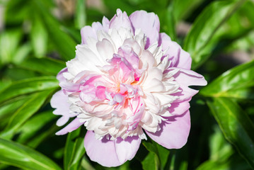 Pink peony in bloom close