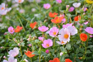 ポーチュラカ 夏の花壇