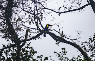 Channel-billed toucan with yellow streak in a tree in Costa Rica