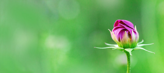 Delicate cosmos flower on blurred green background. Blooming flower in nature. Fresh closed bud. Selective focus.