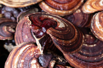 Dried Lingzhi Before make a drug