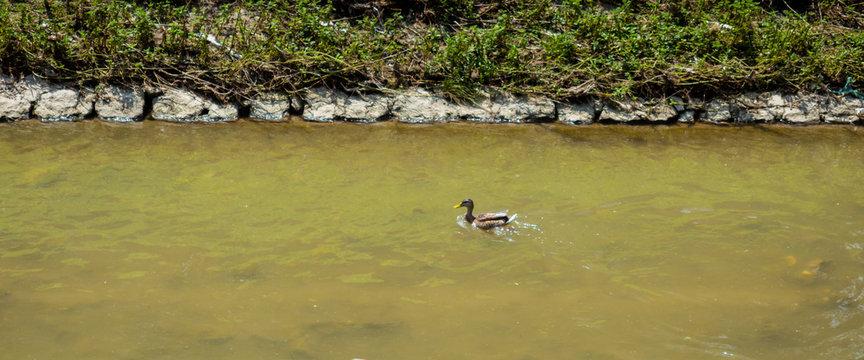 Single female duck swimming upstream