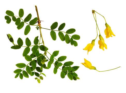 Set of fresh green leaves and yellow flowers of Siberian peashrub