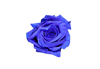 Blue rose flower isolated on white background. Top view.