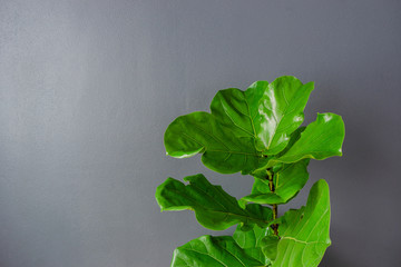 Fiddle leaf fig tree on a gray background.
