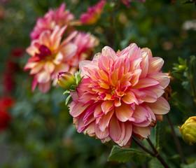 Keuken foto achterwand Dahlia flower dahlias. close-up. nature. flowers.
