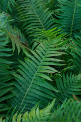 Leaves of the fern. Garden flowerbed. Forest plant. Background, texture. Place for text