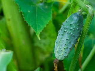 Young fresh cucumber  in open ground. Cucumber plants, young fresh Cucumber organic vegetable.