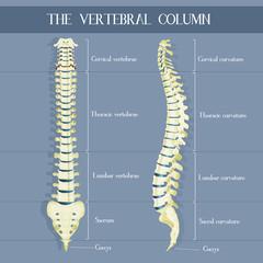 illustration of the vertebral colum