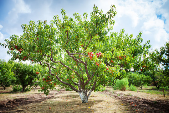 Peach tree with fruits growing in the garden. Peach orchard.