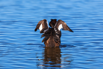 Great Crested Grebe flapping