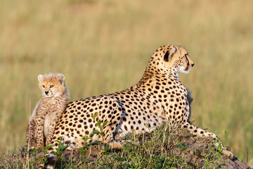 Cheetah cub with his mother