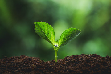 Plant seedlings in nature plant a tree natural background Plant Coffee seedlings in nature green fresh