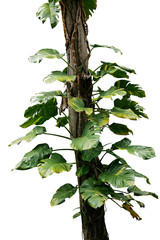 Wall Mural - Wild giant pothos or Devil's ivy (Epipremnum aureum) the tropical forest vine plant climbing on jungle tree trunk isolated on white background, clipping path included.