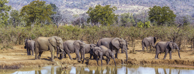 African bush elephant in Kruger National park, South Africa; Specie Loxodonta africana family of Elephantidae Wall mural