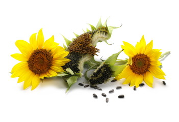 Ripe sunflower with seeds isolated on white background