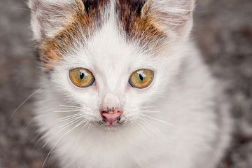 White spotted kitty with a distinct look. Close-up portrait_