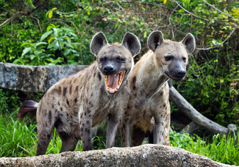 Foto auf Leinwand Hyane Family spotted hyena in the wild.