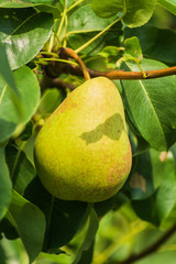 Growing pear on branch in a garden.