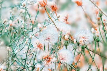 Beautiful floral background with dandelion flowers in summer. Pastel colors. Nature beauty.