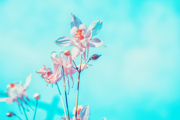 Floral pastel beautiful background with colorful pink columbine flowers over blue sky