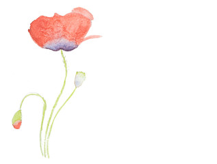 Watercolor hand painted red poppy iolated on white background