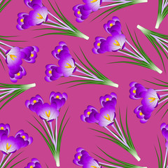 Purple Crocus Flower on Pink Background
