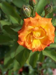 Vivid Orange Floribunda Rose