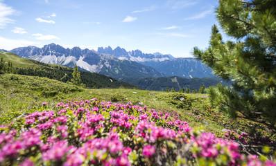 alpenrosen on the plose with view on the italian dolomites (Geisler Alps)