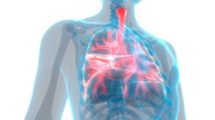 Human Respiratory System Lungs Anatomy