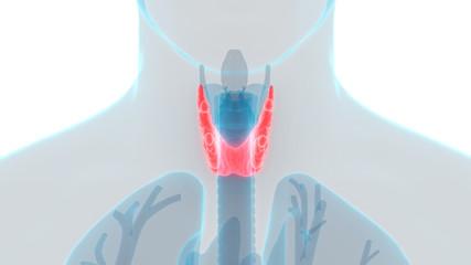Human Body Glands Thyroid Gland Anatomy