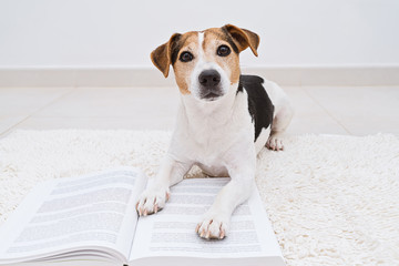 Smart cute jack russell terrier dog lying with open book looking at camera. Back to school concept, isolated on white